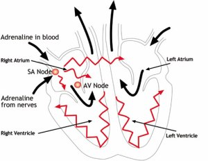 know about the human heart and its functions | heart-pulse-diseases, Muscles