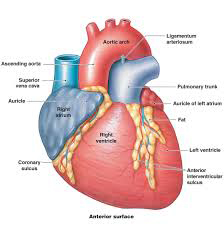 Know about the human heart and its functions heart pulse diseases human heart diagram 1 ccuart Gallery