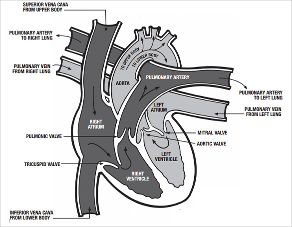 function of heart in human body | heart-pulse-diseases, Muscles
